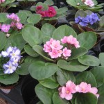 Assorted African Violets in 4inch pots